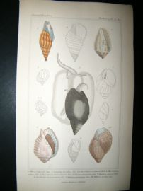 Cuvier C1835 Antique Hand Col Print. Shells #23